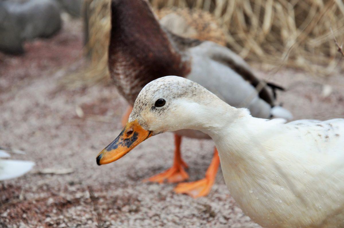 Farma z hodowlą kaczek jako biznes